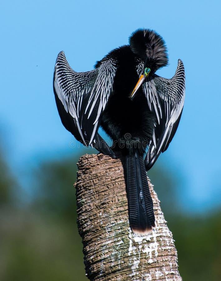 Florida Wetlands Bird - Anhinga Snake Bird stock photography