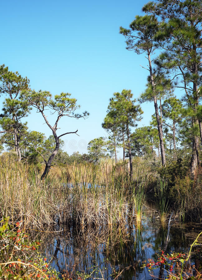 Florida Wetlands with Pine Trees Landscape. Landscape on Fort Pickens Florida Scenic Trail. Freshwater canal, native pines, giant cane, lupon and other native stock photos