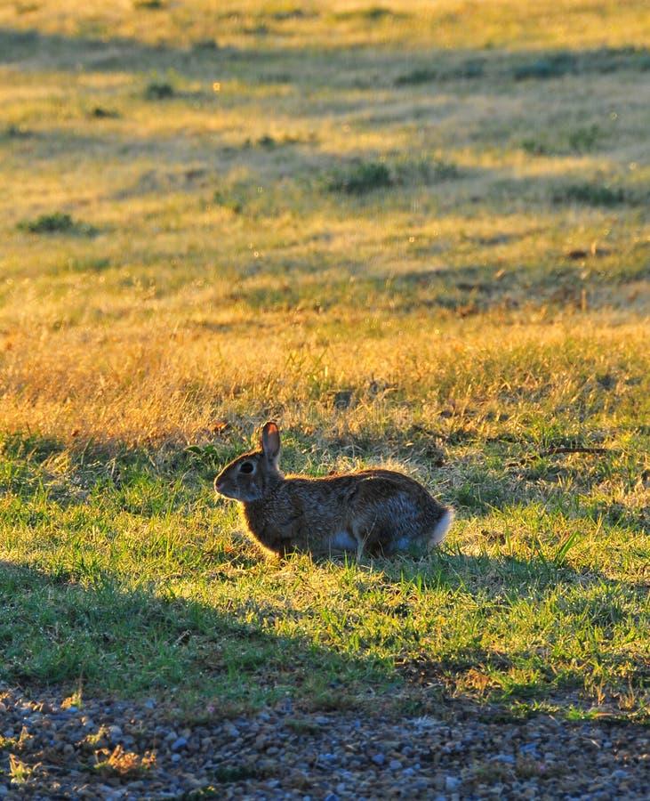 Floridanus du nord de Texas Eastern Cottontail Rabbit Sylvilagus photo stock