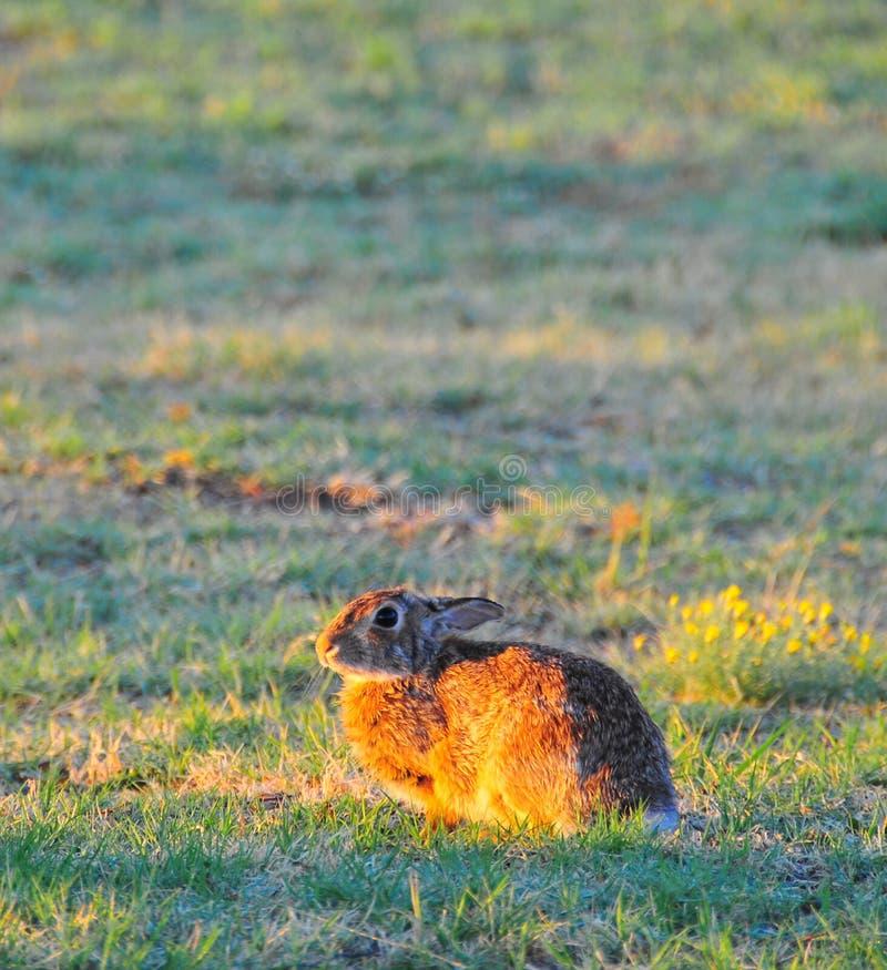 Floridanus van het noordentexas eastern cottontail rabbit sylvilagus royalty-vrije stock foto's