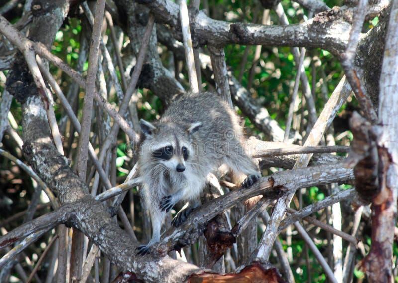 Floride Everglades Racoon assis dans un palétuvier image stock