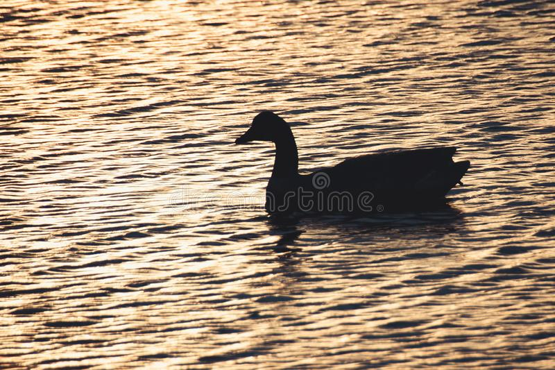 Floridian Duck swimming at sunset. Isolated duck on the water. stock photo