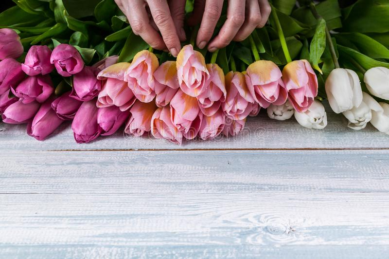 Florist hands lay out multicolored tulips on a horizontal wooden background. Florist at works. Florist hands lay out multicolored tulips on a horizontal wooden stock photos
