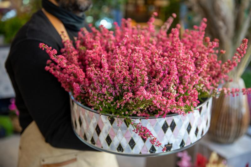 Florist holding beautiful pot with flowering pink Erica gracilis plant in the greek garden shop in November. Horizontal. Close-up royalty free stock photos