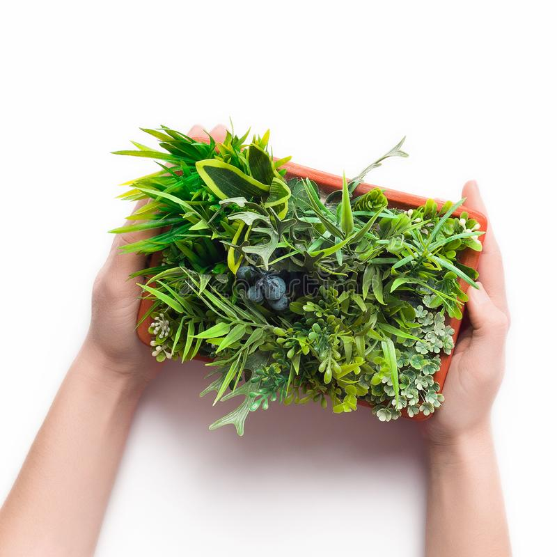 Florist holding decorative plant in pot on white background. Top view royalty free stock photos