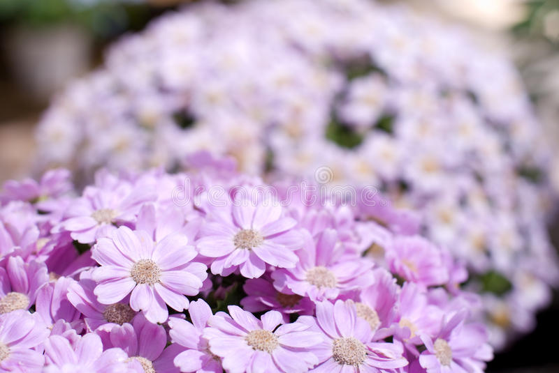 Florist's Cineraria. Flowers in full bloom stock photo