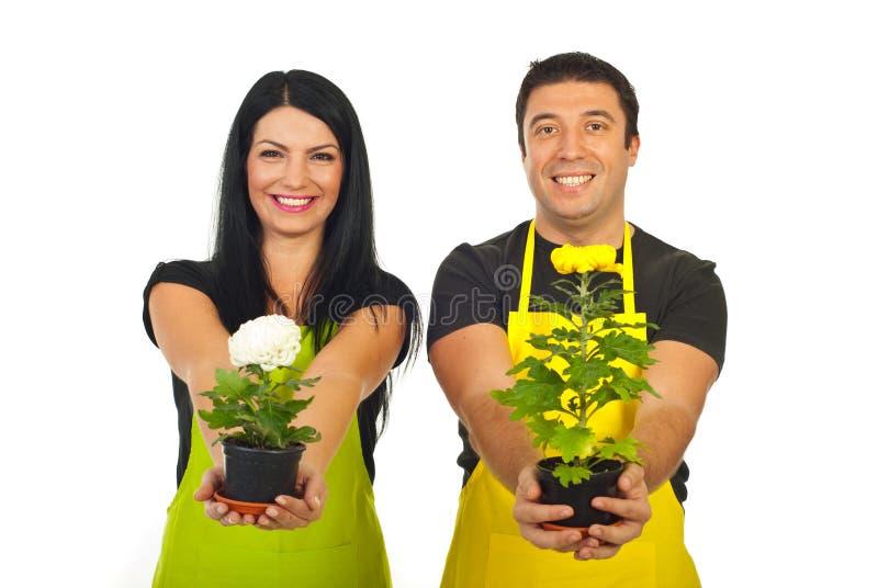 Floristas felizes que dão potenciômetros do crisântemo foto de stock royalty free