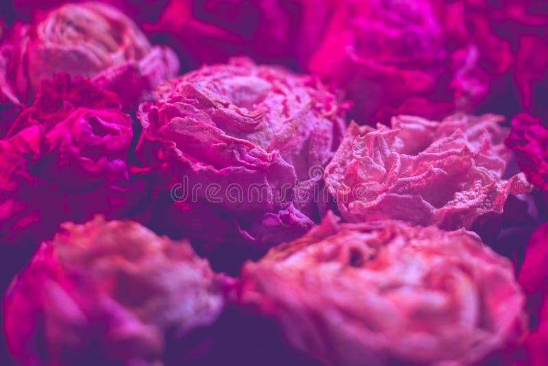 Floristry zmroku menchie suszą róży defocused tło obraz stock