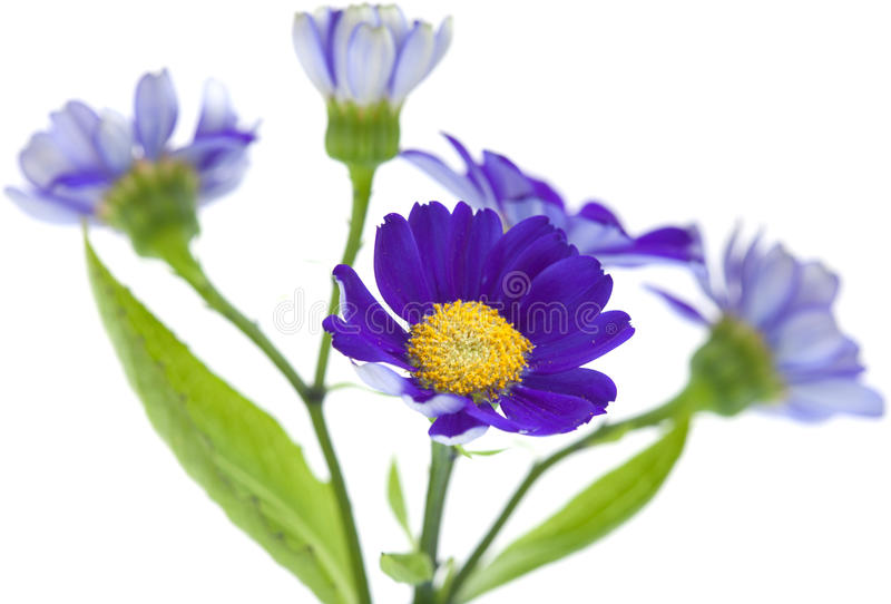 Florists Cineraria. Isolated on white background stock photo