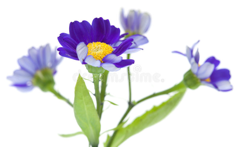 Florists Cineraria. Isolated on white background royalty free stock photo