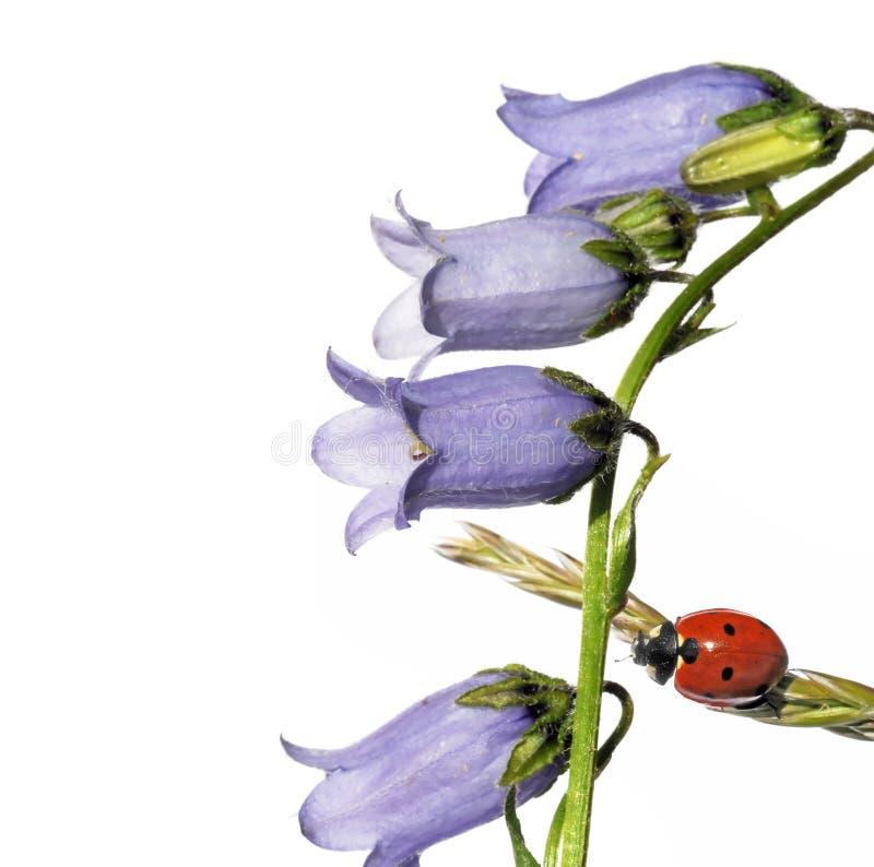 flory ladybird zdjęcie royalty free