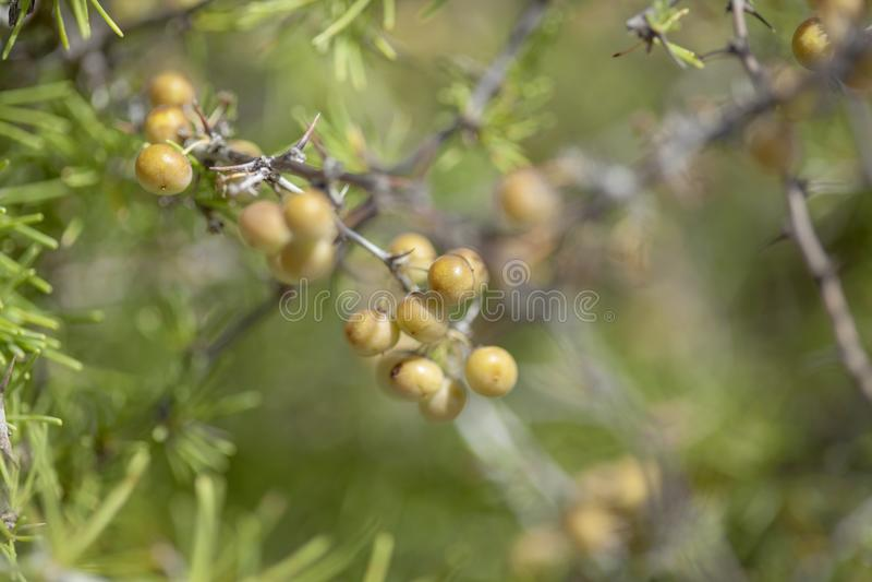 Flory wyspy kanaryjska - Szparagowi nesiotes obraz stock