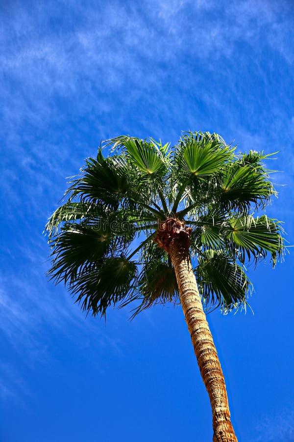 Floryda drzewko palmowe obrazy stock