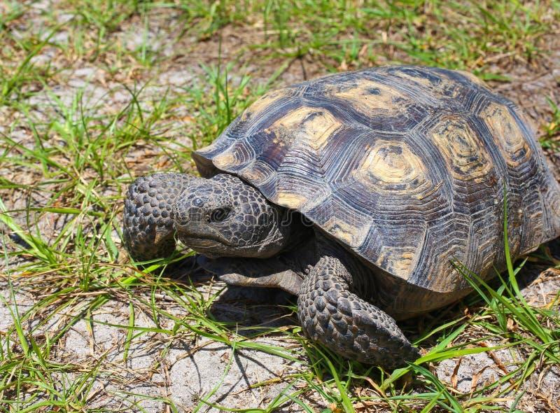 Floryda Gopher Tortoise fotografia stock