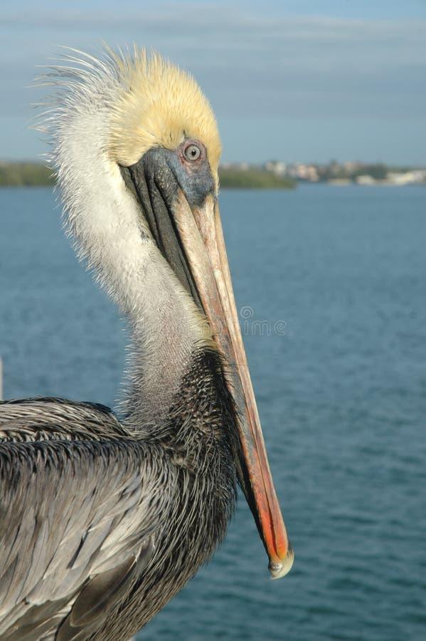 Floryda koloru żółtego głowy Brown pelikan obrazy royalty free
