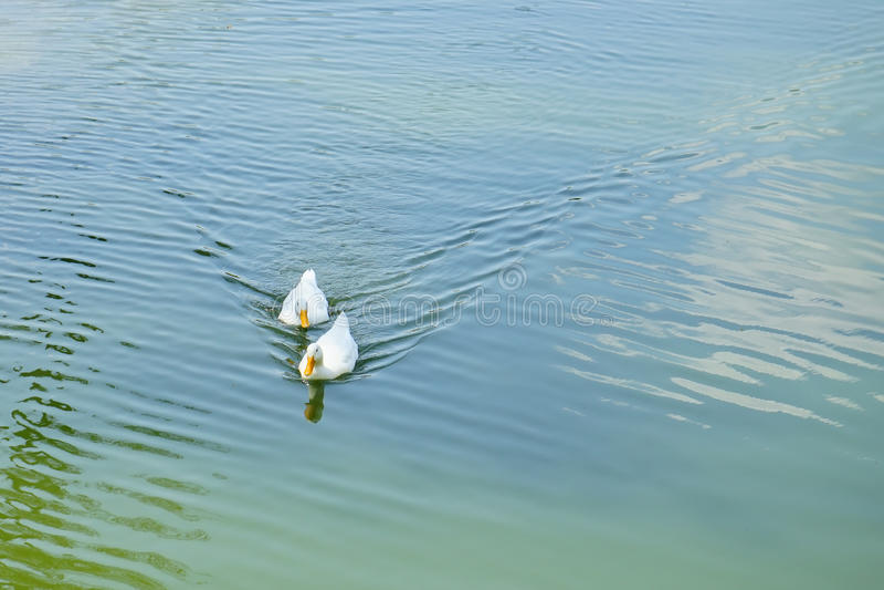 Floryda Muscovy kaczka pływa obraz royalty free