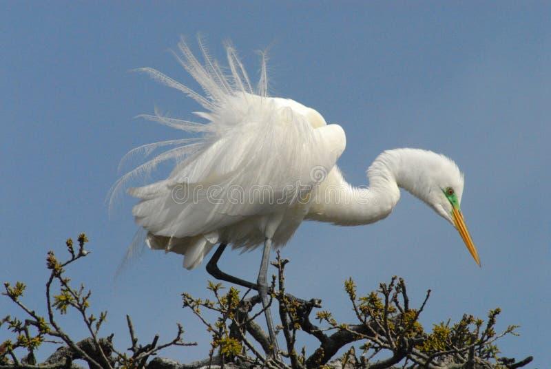 Floryda Zamyka up Wielki Biały Egret w Drzewnym wierzchołku zdjęcia stock