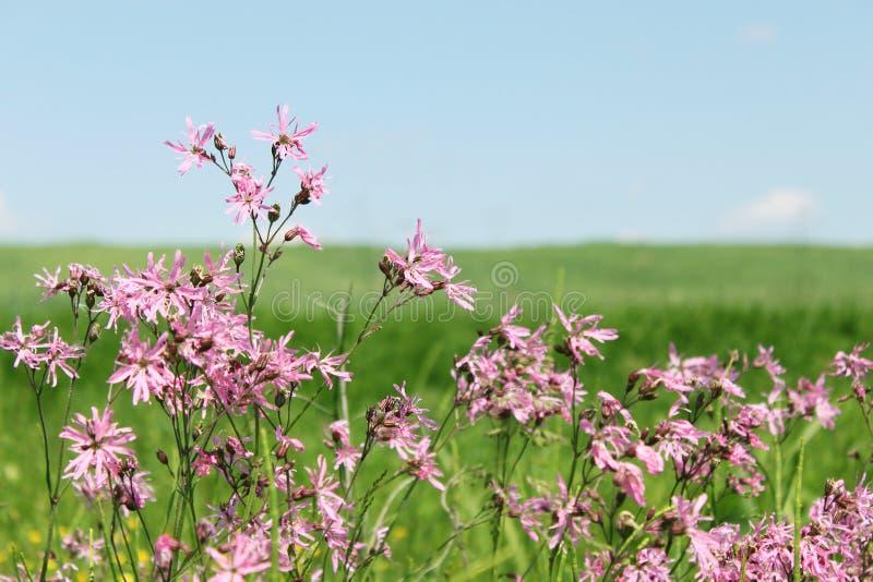 Download Flos cuculi stock image. Image of blossom, botanical - 17713799