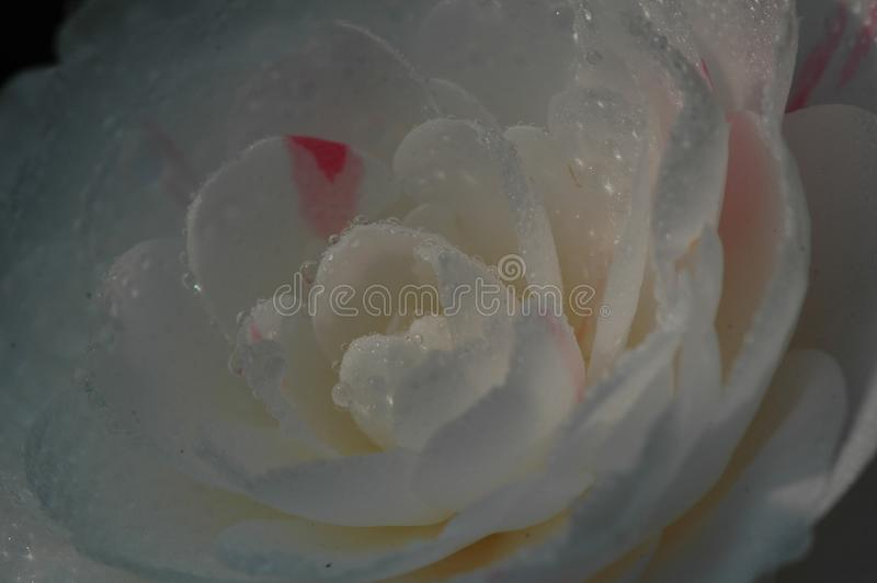 Flos rosaesinensis arkivfoto