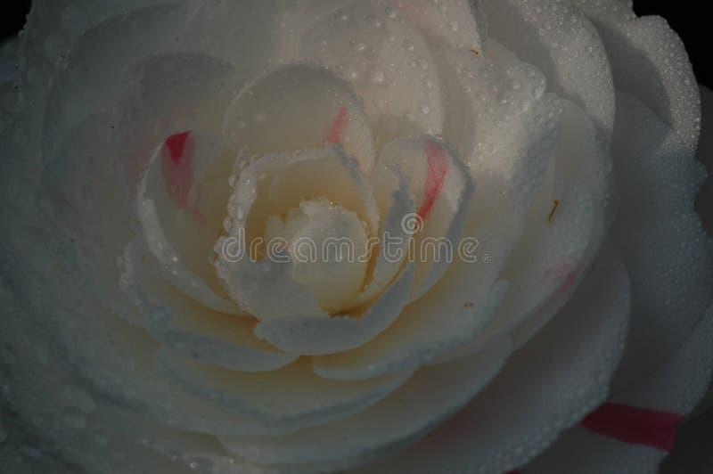 Flos rosaesinensis arkivbild