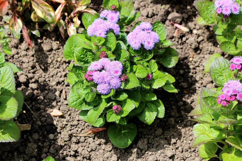 Floss flower or Ageratum houstonianum annual plants with fuzzy tufted violet flowers in rounded dense flower heads surrounded with. Floss flower or Ageratum stock images