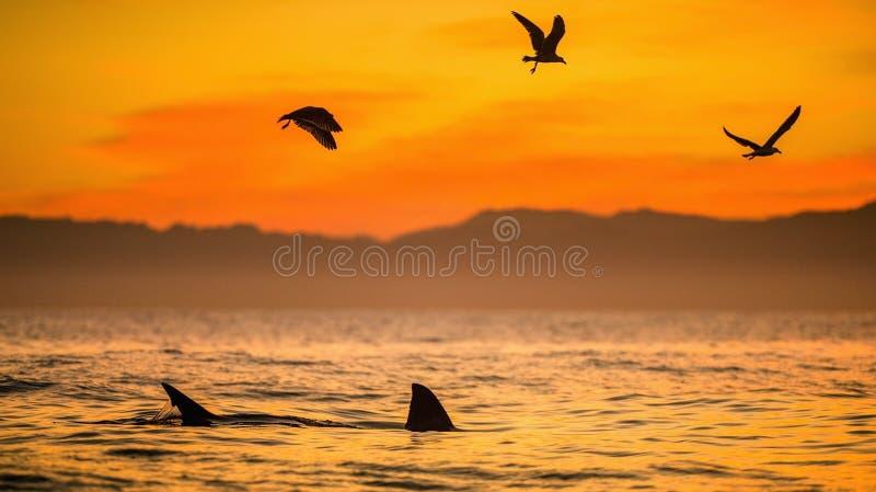 Flossen eines weißen Hais und der Seemöwen stockfoto