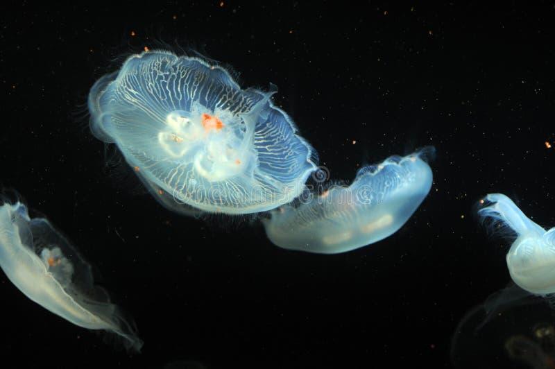 Flotación luminescente de las medusas imagen de archivo libre de regalías