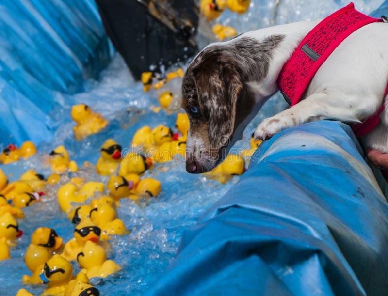 Flotador de goma de los patos de los relojes del perro cerca fotografía de archivo