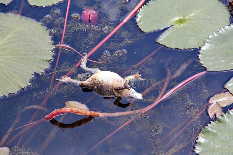 Flotador de la rana mugidora que flota en la piscina con la charca con loto fotos de archivo libres de regalías