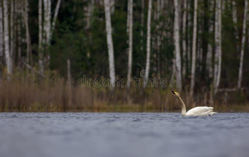 Flotador del cisne de Whooper y agua de las bebidas con gotas descendentes del pico en el lago grande en la visión escénica imagen de archivo