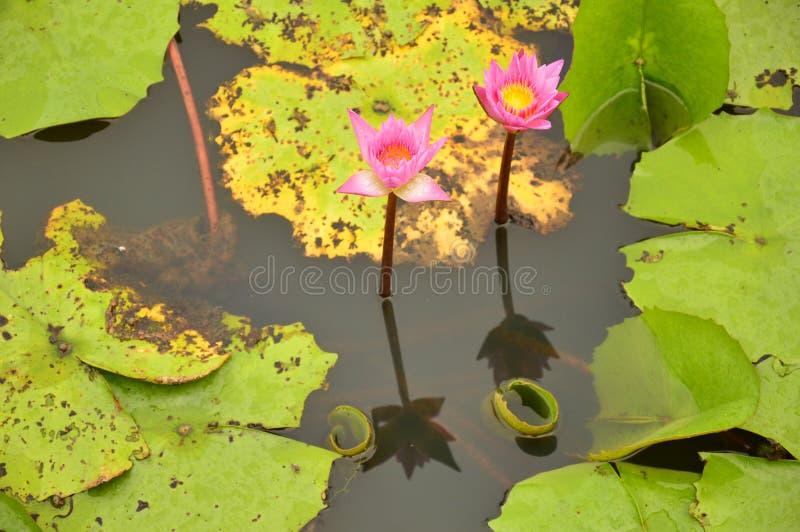 Flotador gemelo del loto en la charca imagenes de archivo