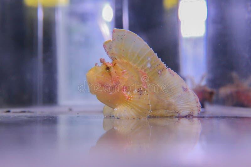 Flotadores amarillos del scrofa del Scorpaena en el acuario fotografía de archivo