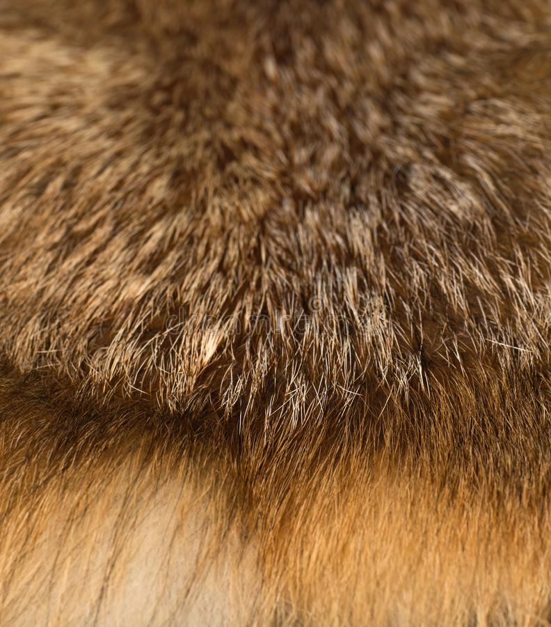 Flott och lyxig päls för röd räv royaltyfri fotografi