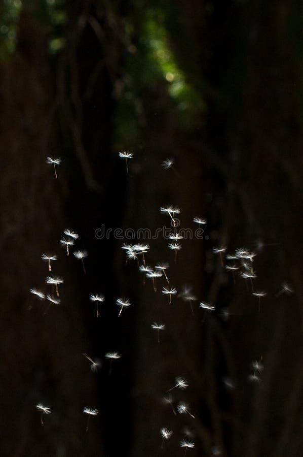 Flottement de graines de pissenlit image stock