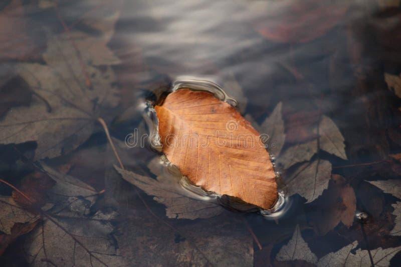 Flotteur de feuillage d'automne photo libre de droits