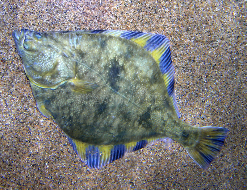 Download Flounder stock photo. Image of sealife, states, ugly, water - 357372