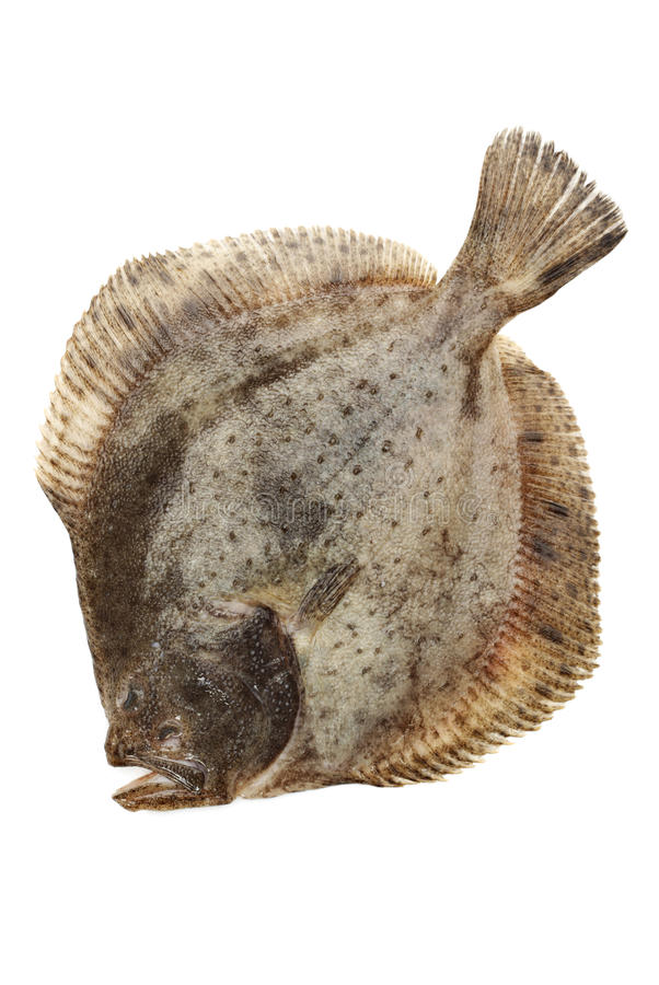 Flounder fish royalty free stock image image 28001886 for Turbot fish price