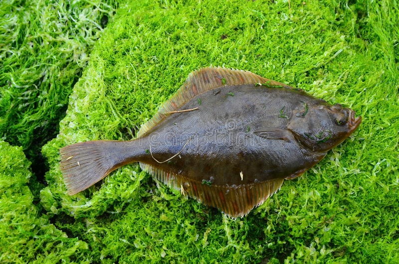 Flounder Platichthys flesus. The European flounder (Platichthys flesus) is a flatfish of European coastal waters from the White Sea in the north to the stock photos