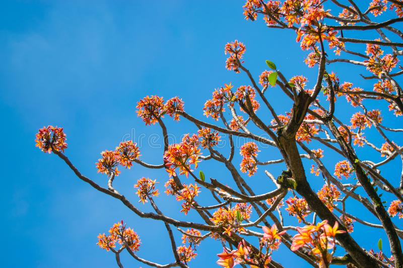 Flourished jasmin tree. Jasmin tree over a blue sky. Sunny weather with flowers. Colors of life and spring. Colorful flowers of spring. Seasonal trees stock photos