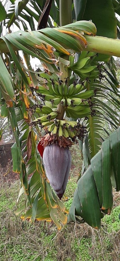 Flourishing bananas on the banana tree. Green bananas stock photos