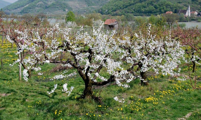 Flourishing Cherry-tree Royalty Free Stock Image