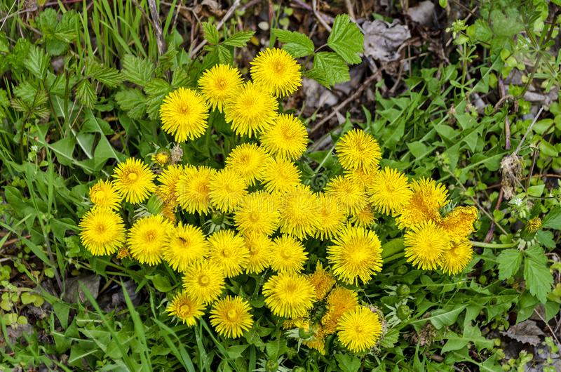 Flourishing yellow dandelions. Cluster of yellow flourishing dandelions on forest ground in spring stock images
