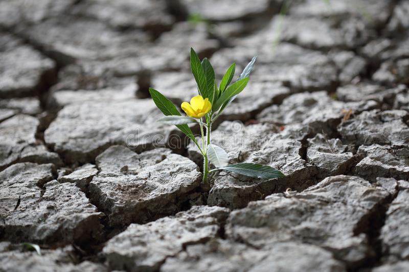 Flourishing flower fighint through dried earth soil stock images