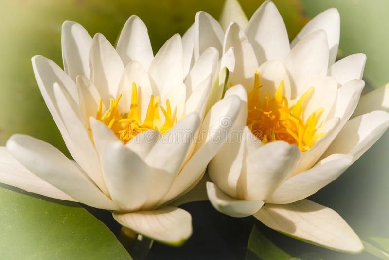 Flourishing white water lilies. Two delicate, flourishing white water lilies royalty free stock images