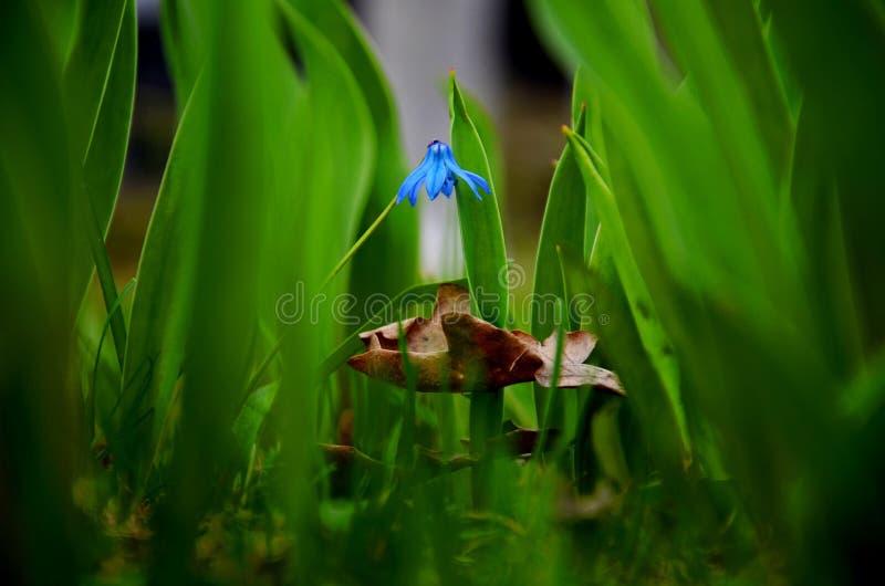 Flover bleu image stock