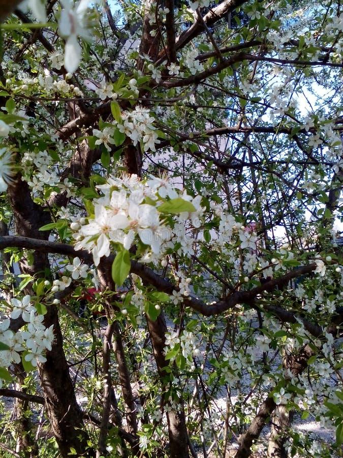 Flovers blancs photo libre de droits