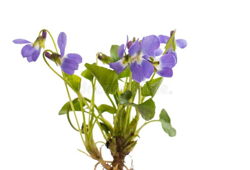 Flovers för Wood violets arkivfoton
