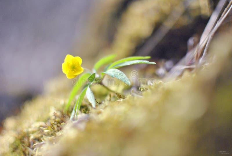 Flowe amarelo das flores fotos de stock
