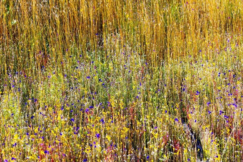 Flowe dos delphinoides do Utricularia e grama amarela pequena imagens de stock