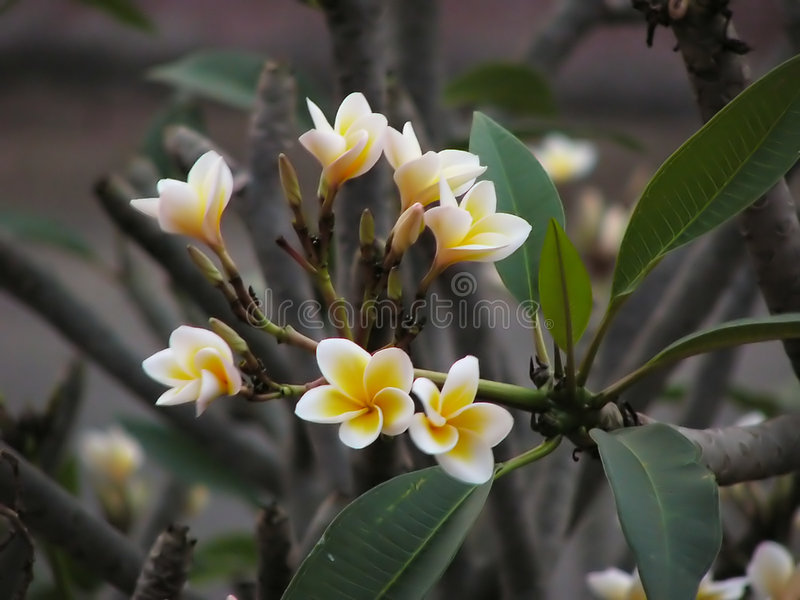 Download Flower 1 stock image. Image of leaf, plumeria, frangipani - 15647